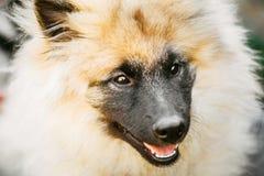Γκρίζο Keeshound, Keeshond, σκυλί Keeshonden (γερμανικό Spitz) Wolfspit Στοκ Φωτογραφία