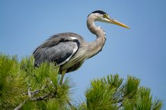 Γκρίζο long-legged αρπακτικό wading πουλί ερωδιών (Ardea φαιάς ουσίας) μέσα Στοκ εικόνες με δικαίωμα ελεύθερης χρήσης