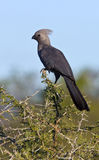 Γκρίζο Lourie ή πηγαίνω-μακριά πουλί - Μποτσουάνα στοκ φωτογραφία