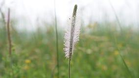 Γκρίζο plantain λουλούδι σε ένα λιβάδι φιλμ μικρού μήκους