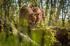 Γκρίζο Sniff κουταβιών Λύκου Canis λύκων περίπου επάνω στο βράχο Στοκ Φωτογραφία