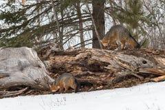 Γκρίζο Sniff cinereoargenteus FoxesUrocyon στο κούτσουρο στοκ φωτογραφία με δικαίωμα ελεύθερης χρήσης