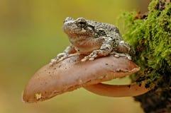 Γκρίζο treefrog (Hyla versicolor) Στοκ Φωτογραφία