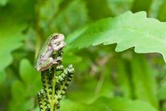Γκρίζο Treefrog Metamorph Στοκ φωτογραφία με δικαίωμα ελεύθερης χρήσης