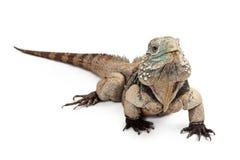 Γκραν Κέιμαν Iguana που απομονώνεται μπλε στο λευκό Στοκ Εικόνες