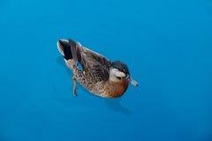 Γκριζόπαπια της Νέας Ζηλανδίας Στοκ εικόνες με δικαίωμα ελεύθερης χρήσης