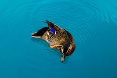 Γκριζόπαπια της Νέας Ζηλανδίας Στοκ Εικόνες