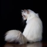 Γκριζόλευκη μακρυμάλλης γάτα με τα μπλε μάτια Στοκ εικόνα με δικαίωμα ελεύθερης χρήσης