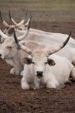 γκρι βοοειδών Στοκ Φωτογραφία
