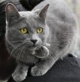 γκρι γατών Στοκ Εικόνες
