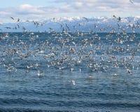 γλάροι κοπαδιών κόλπων Στοκ φωτογραφία με δικαίωμα ελεύθερης χρήσης