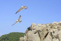 Γλάροι που πηδιούνται από τον απότομο βράχο Στοκ φωτογραφία με δικαίωμα ελεύθερης χρήσης
