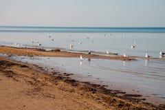 Γλάροι στην ακτή Βαλτική, Λετονία Jurmala στοκ εικόνες με δικαίωμα ελεύθερης χρήσης