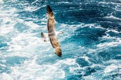Γλάρος, ευρωπαϊκός ασημόγλαρος, argentatus Larus Στοκ εικόνες με δικαίωμα ελεύθερης χρήσης