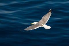 Γλάρος, ευρωπαϊκός ασημόγλαρος, argentatus Larus Στοκ φωτογραφία με δικαίωμα ελεύθερης χρήσης