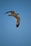 γλάρος Καλιφόρνιας Στοκ φωτογραφία με δικαίωμα ελεύθερης χρήσης
