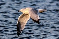 Γλάρος λιμνών πέρα από Winnipesaukee 1 Στοκ φωτογραφίες με δικαίωμα ελεύθερης χρήσης