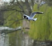 γλάρος που διευθύνετα&iot Στοκ φωτογραφίες με δικαίωμα ελεύθερης χρήσης