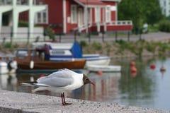 γλάρος που διευθύνετα&iot Στοκ Φωτογραφίες