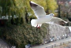 γλάρος που διευθύνετα&iot Στοκ εικόνες με δικαίωμα ελεύθερης χρήσης