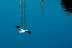 γλάρος πτήσης Στοκ Φωτογραφίες