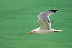 γλάρος πτήσης Στοκ Εικόνες
