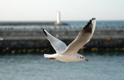 γλάρος πτήσης Στοκ εικόνες με δικαίωμα ελεύθερης χρήσης