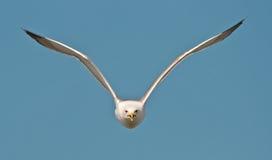 γλάρος πτήσης Στοκ Φωτογραφία