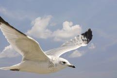 γλάρος πτήσης Στοκ φωτογραφία με δικαίωμα ελεύθερης χρήσης