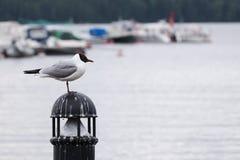 Γλάρος στο λιμάνι Στοκ Εικόνες