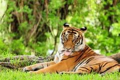γλείψιμο της τίγρης στοκ εικόνα