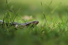 γλιστρώντας φίδι Στοκ εικόνα με δικαίωμα ελεύθερης χρήσης