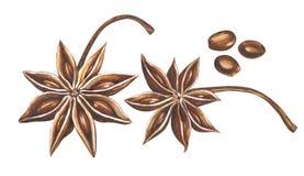 Γλυκάνισο αστεριών Watercolor με τους σπόρους που απομονώνονται στο άσπρο υπόβαθρο Στοκ Εικόνες