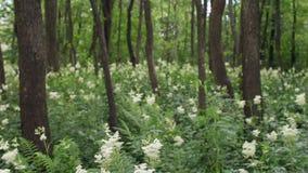 Γλυκά άσπρα λουλούδια λιβαδιών μεταξύ των κληθρών στα έλη απόθεμα βίντεο