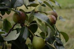 Γλυκά θερινά αχλάδια που ωριμάζουν σε ένα δέντρο Στοκ εικόνες με δικαίωμα ελεύθερης χρήσης