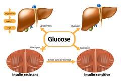 Γλυκογόνο στο συκώτι και το μυ διανυσματική απεικόνιση