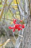 Γλυκόπικρα κόκκινα μούρα θάμνων στοκ φωτογραφίες