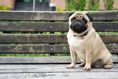Γλυκός, λυπημένος μαλαγμένος πηλός σκυλιών μαλαγμένου πηλού με τα μεγάλα λυπημένα μάτια και ερωτηματική ματιά, μεγάλα μάτια Στοκ Εικόνες