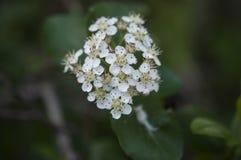 Γλυκός πορφυρός chokeberry, prunifolia Aronia που ανθίζει την άνοιξη Κλείστε επάνω τη φωτογραφία των λουλουδιών και των φύλλων στοκ εικόνα