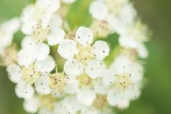 Γλυκός πορφυρός chokeberry, prunifolia Aronia που ανθίζει την άνοιξη Κλείστε επάνω τη φωτογραφία των λουλουδιών και των φύλλων στοκ εικόνα με δικαίωμα ελεύθερης χρήσης
