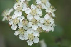 Γλυκός πορφυρός chokeberry, prunifolia Aronia που ανθίζει την άνοιξη Κλείστε επάνω τη φωτογραφία των λουλουδιών και των φύλλων στοκ εικόνες