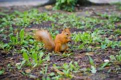 Γλυκός σκίουρος για να κρατήσει το καρύδι στο δάσος Στοκ Εικόνες
