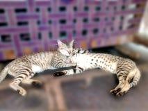 γλυκό γατών Στοκ Φωτογραφίες