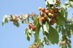 γλυκό δέντρο κερασιών Στοκ Εικόνα