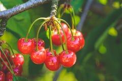 Γλυκό κεράσι σε έναν κλάδο δέντρων στον κήπο στοκ φωτογραφίες
