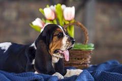 Γλυκό λίγο ευγενές κυνηγόσκυλο μπασέ κουταβιών με τα λυπημένα μάτια Στοκ Εικόνες