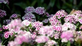 Γλυκό λουλούδι του William στον τομέα λουλουδιών απόθεμα βίντεο