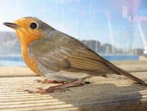 γλυκό πουλιών Στοκ Εικόνες