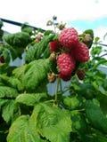 Γλυκό σμέουρο κήπων στοκ φωτογραφίες με δικαίωμα ελεύθερης χρήσης