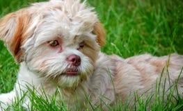 Γλυκό χαριτωμένο σκυλί στην πράσινη χλόη στοκ φωτογραφία